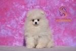 Pomeranac Boo krem belo muško štene