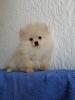 Pomeranac Boo krem muško štene