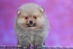 Pomeranac Boo medvedasti muzjak