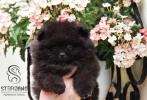 Pomeranac Boo medvedic