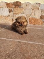 Pomeranac Boo mini mužjak
