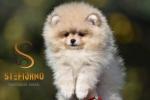 Pomeranac Boo mini zenkica fantasticnog porekla