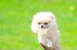 Pomeranac Boo muško štene toy veličine