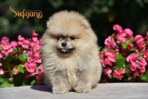 Pomeranac Boo muško štene
