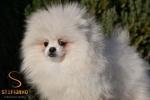 Pomeranac Boo prelep beli mužjak