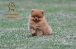 Pomeranac Boo prelepa mini zenkica