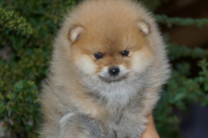 Pomeranac, Boo štenci