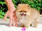 Pomeranac Boo, štenci