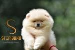 Pomeranac Boo teddy bear muzjak