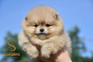 Pomeranac Boo teddy bear zenkica