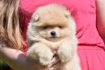 Pomeranac Boo teddy bear