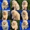 Pomeranac Boo vrhunski štenci