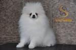 Pomeranac Boo vrhunsko belo muško štene