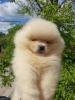 Pomeranac Boo vrhunsko štene