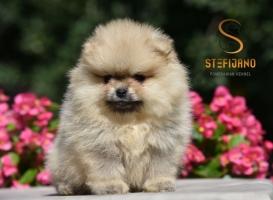 Pomeranac Boo ženkica, vrhunsko štene