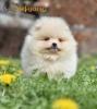 Pomeranac Boo žensko štene