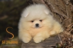 Pomeranac medvedasto muško štene