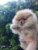 Pomeranac,Pomeranski špic–Boo štenci