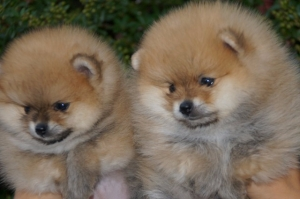 Pomeranski špic – Boo štenci