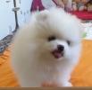 Pomeranski špic i nemački špic štenci na prodaju