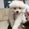 Pomeranski Špic muško štene