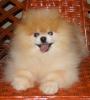 Pomeranski spic,Pomeranac,Pomeranian,Boo