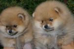 Pomeranski spic(Pomeranian)Boo stenci