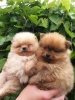 Pomeranski špic prelepi štenci