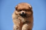 Pomeranski špic prelepo muško štene