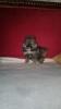Pomeranski špic štene