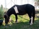 Poni – konji zenskog pola