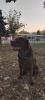 Prelep muzjak labrador retrivera spreman za parenje