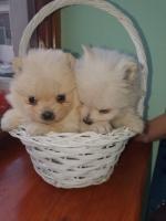 Prelepi BELI štenci POMERANSKOG SPICA