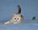 Prelepi škotski mačići