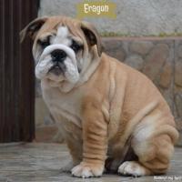 Prelepi štenci ENGLESKOG BULDOGA