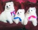 Prelepi štenci SAMOJEDA