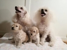 Prelepi štenci Toy pudle