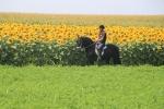Prodaja Frizijskih konja