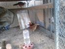 Prodaja paunova