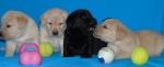 Prodaja stenaca Labradora