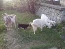 prodajem koze i jarice