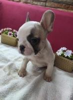 Prodaju se štenci FRANCUSKOG BULDOGA