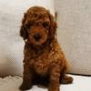 Red patuljasta pudla, muško štene