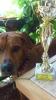 Rodezijski Ridzbek, muzjak spreman za parenje