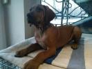 Rodezijski Ridžbek štenci