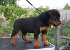 Rotvajler i doberman štenci na prodaju