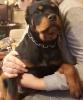 Rotvajler štene na prodaju
