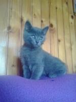 Ruski plavi mačići