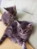Rusko - Persijski mačići