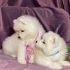 Samojed i sibirski haski štenci na prodaju